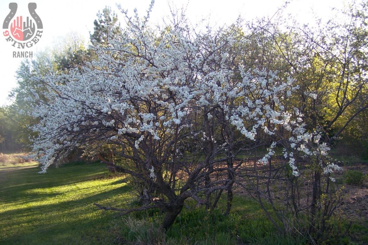 spring-plum-tree