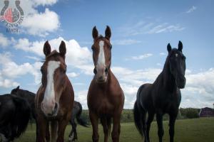 horses_looking
